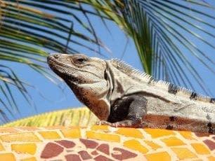 mexican riviera iguana